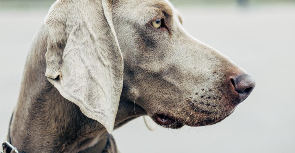 Profile of a Weimaraner dog