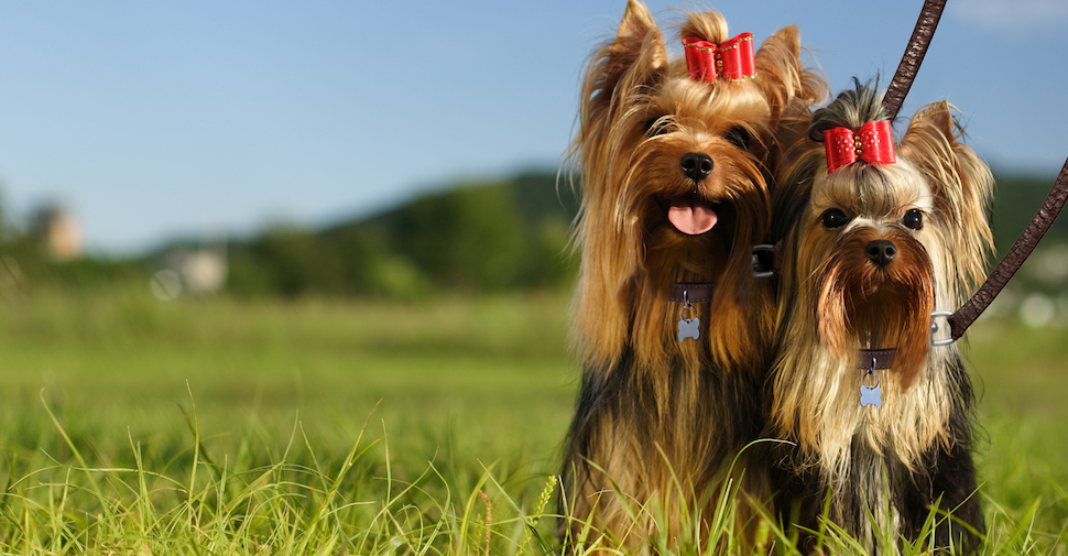 Two small Yorkies with ribbons in their hair, sitting outside in long grass