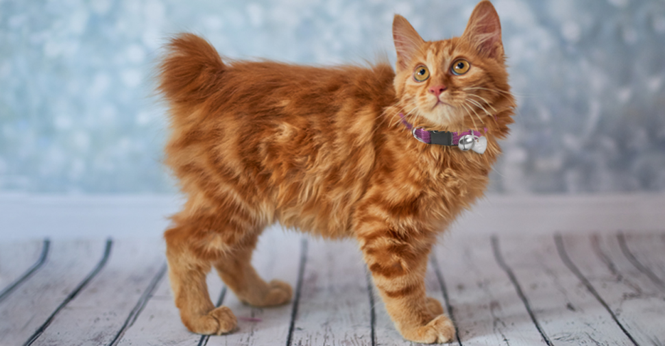 Side view of an orange tabby American Bobtail