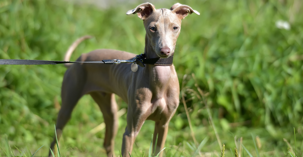 Small taupe and gray hairless dog breed called, Argentine Pila with floppy ears standing in long green grass.