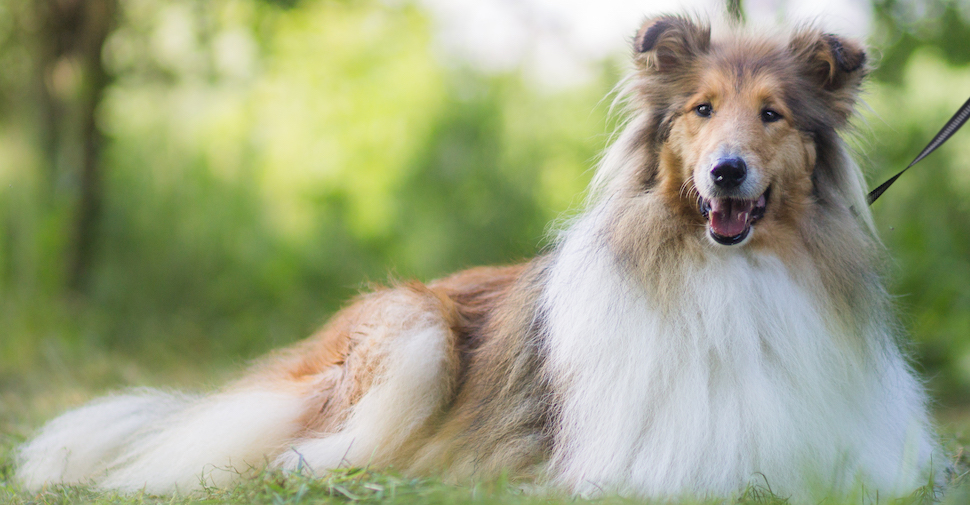 Long-haired Collie lying outside in a park