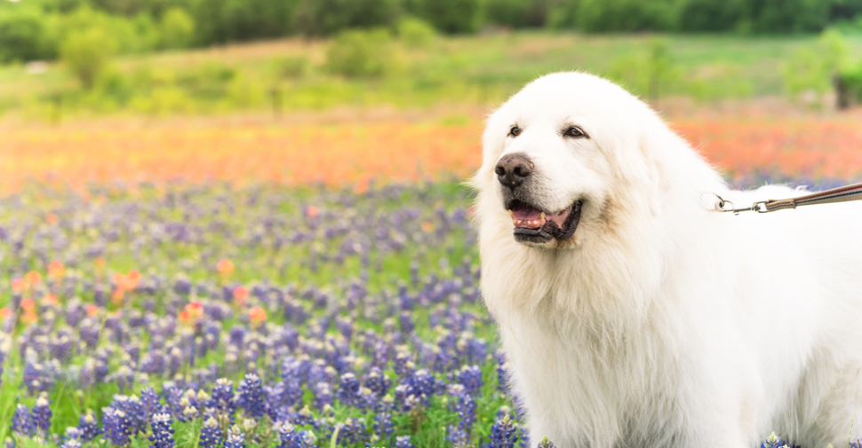 Long-haired Great Pyrenees, outside in a field of flowers