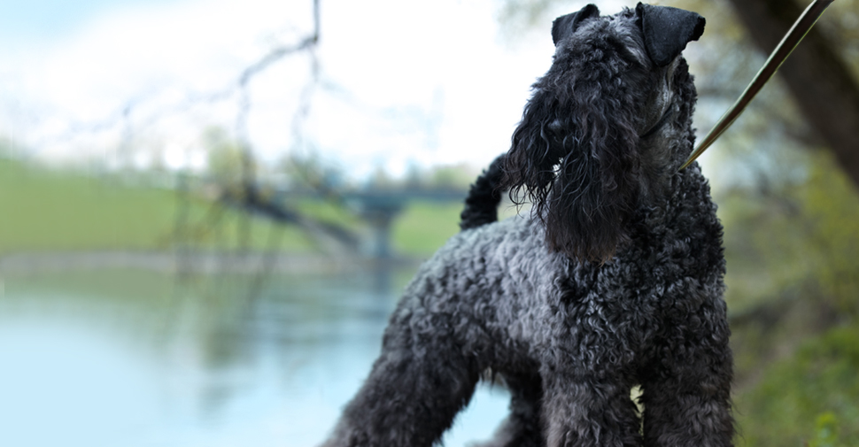 Large breed hypoallergenic Kerry Blue Terrier dog in park near lake.