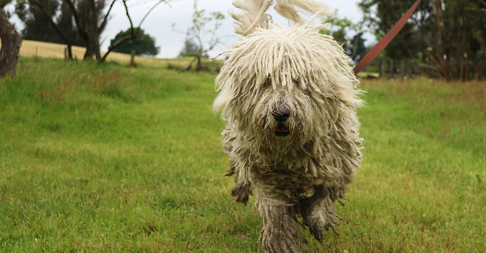 Large breed hypoallergenic Komondor dog with corded coat on a walk in a park.