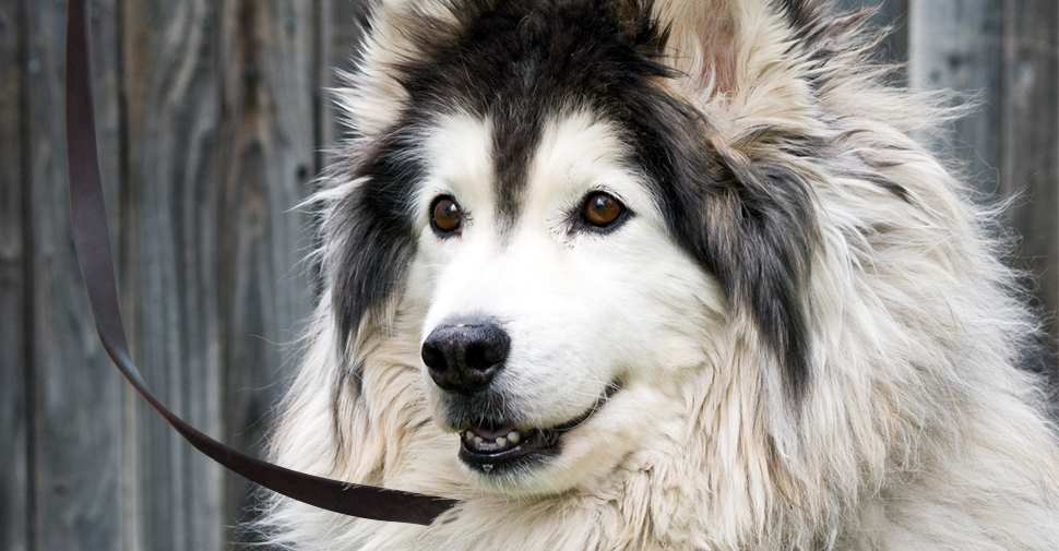 Fluffy, long-haired black and white Malamute