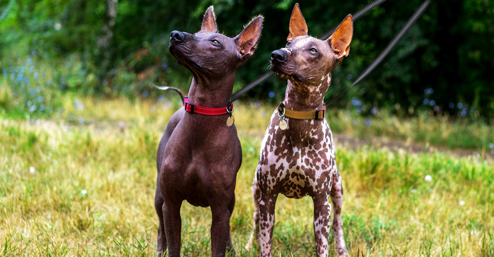 Two hairless Mexican terrier dogs, also known as Xoloitzcuintli standing together on green grass looking up and into the sky.