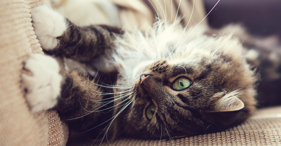 Fluffy Norwegian Forest Cat lying on a couch