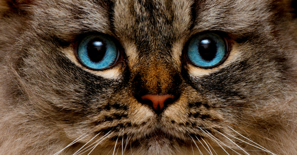 Fluffy Ragamuffin cat with bright blue eyes
