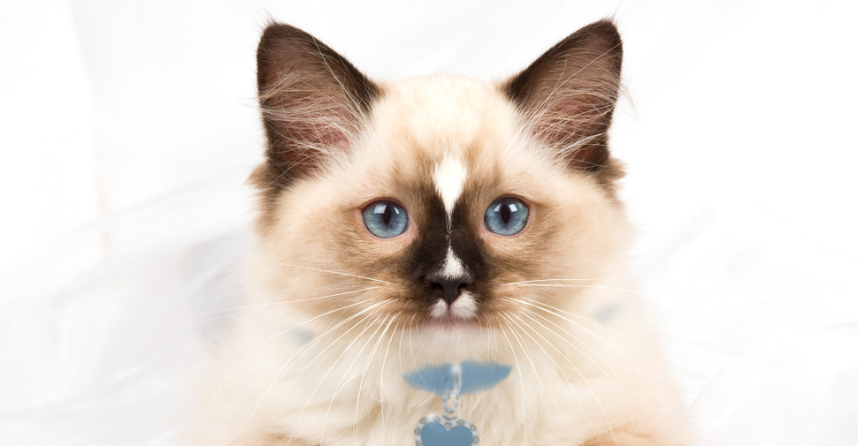 Cute Ragdoll cat on a white blanket