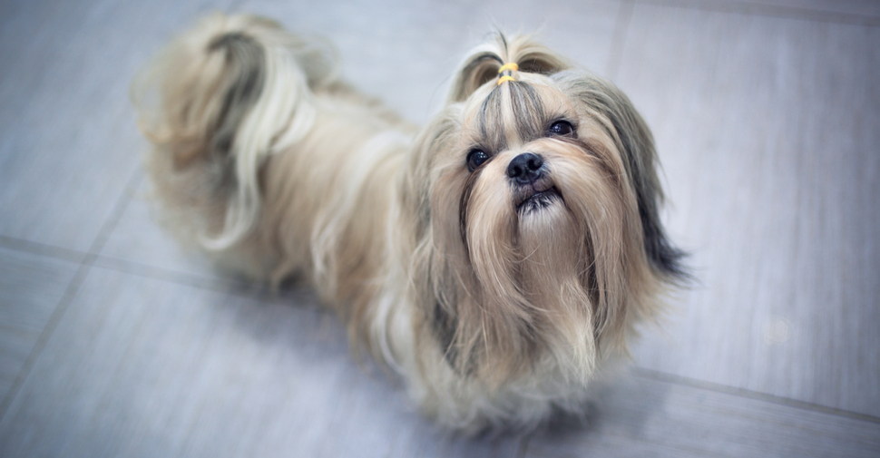 Long-haired Shih-Tzu looking up at camera