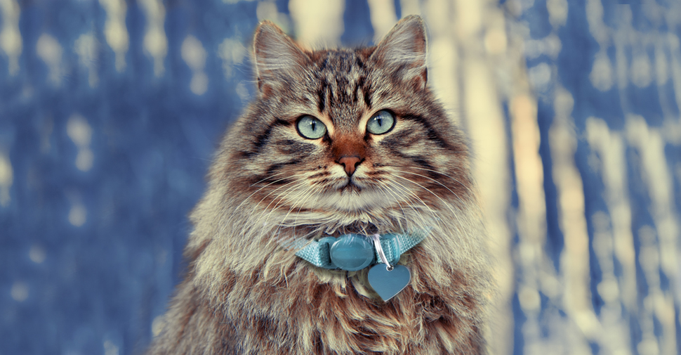 Fluffy Siberian Cat with tabby markings, blue eyes and a thick, furry coat