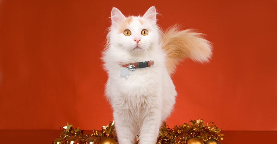 Turkish Van cat with orange tabby markings on the tail, a white body and yellow eyes