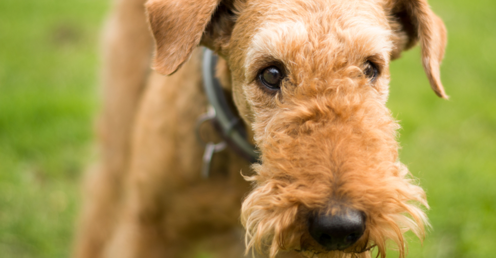Close up of ginger-colored large, medium breed Airedale Terrier playing in a park.
