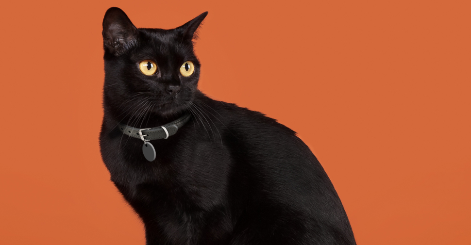 Solid black Bombay cat with bright yellow eyes sitting with orange backdrop with head turned back.