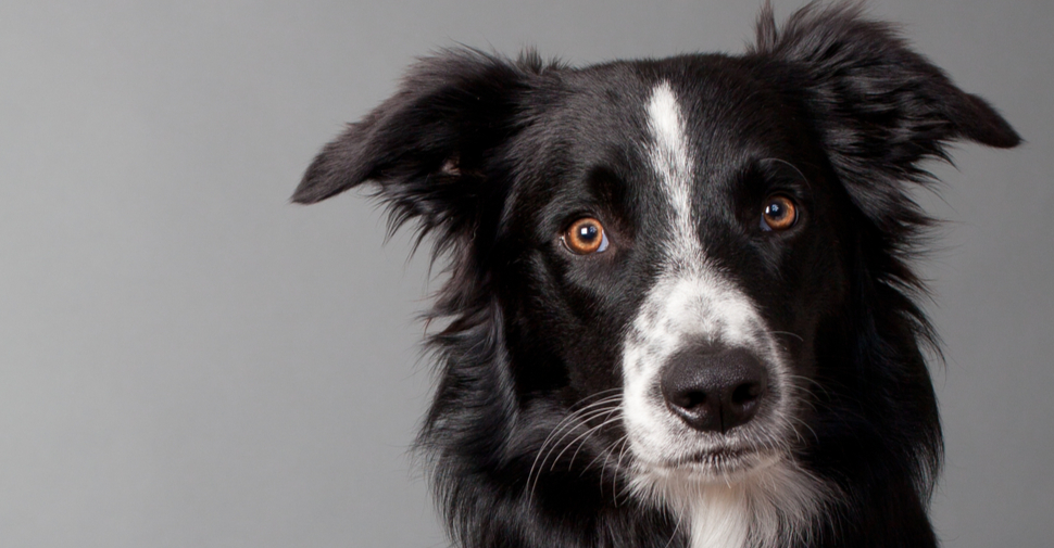 Black and white fluffy dog in a field, Border Collie