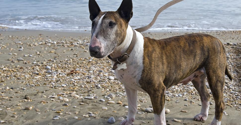 Tan and white, medium size Bull Terrier dog standing amongst beach stones in sand along shore.