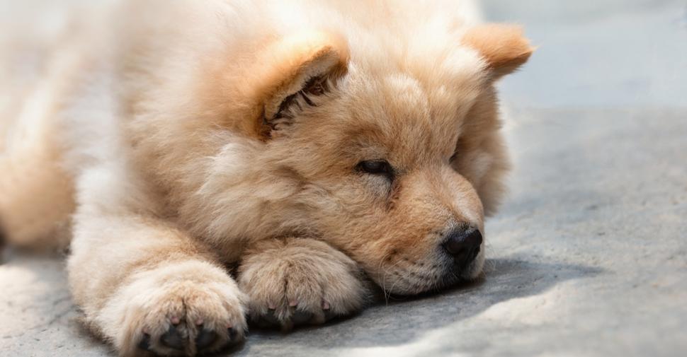 Giant fluffy Chow Chow dog