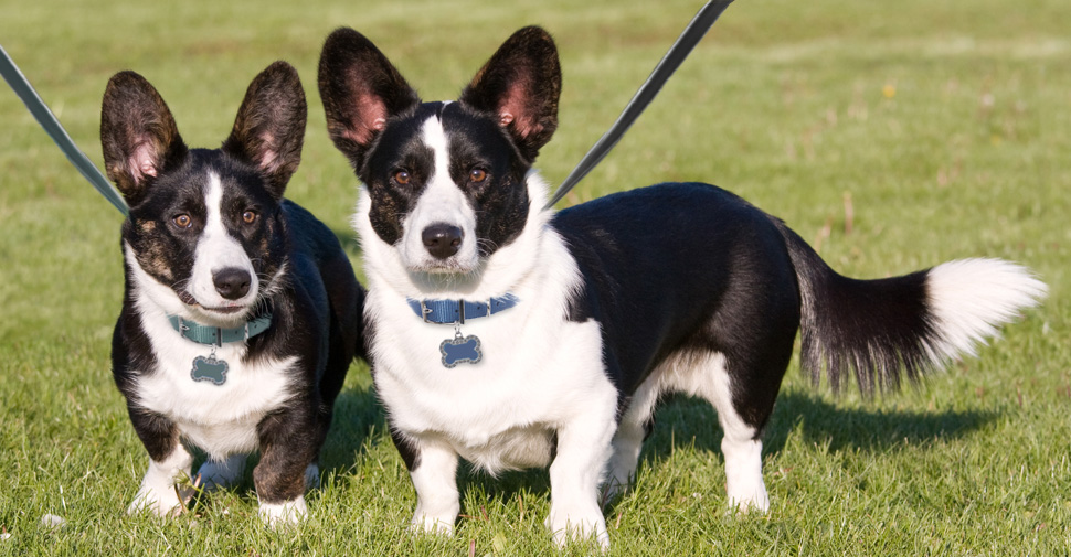 Two small medium black and white Cardigan Welsh Corgi dogs with long tails walking outdoors.
