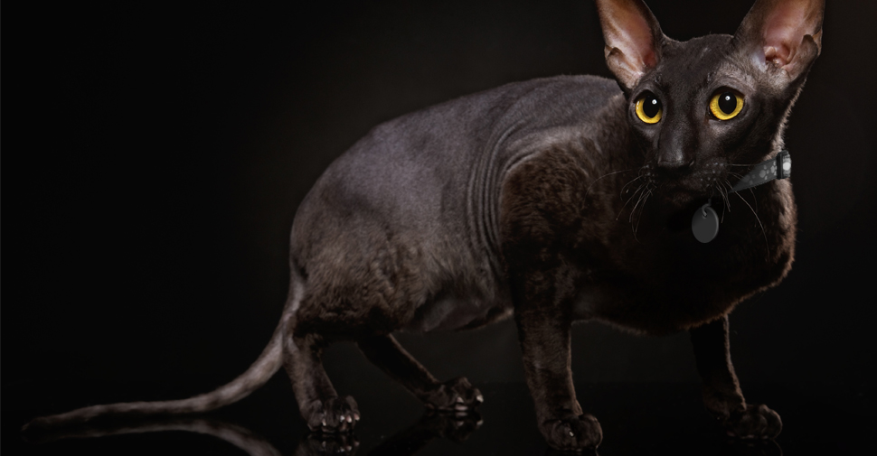Black Cornish Rex cat with yellow eyes in stalking position against dark background.
