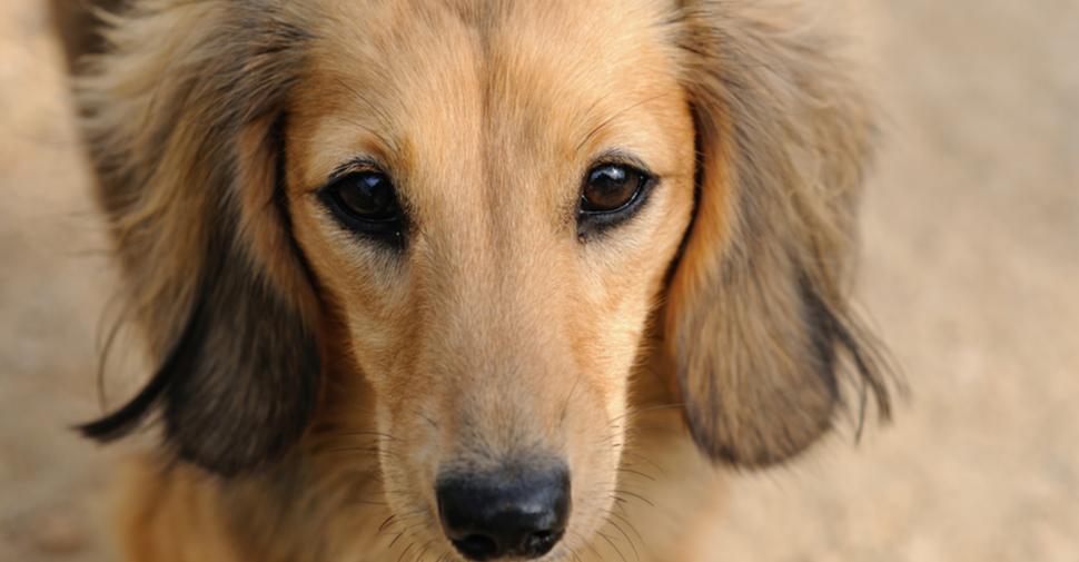 Cute tan and black Dachshund close-up