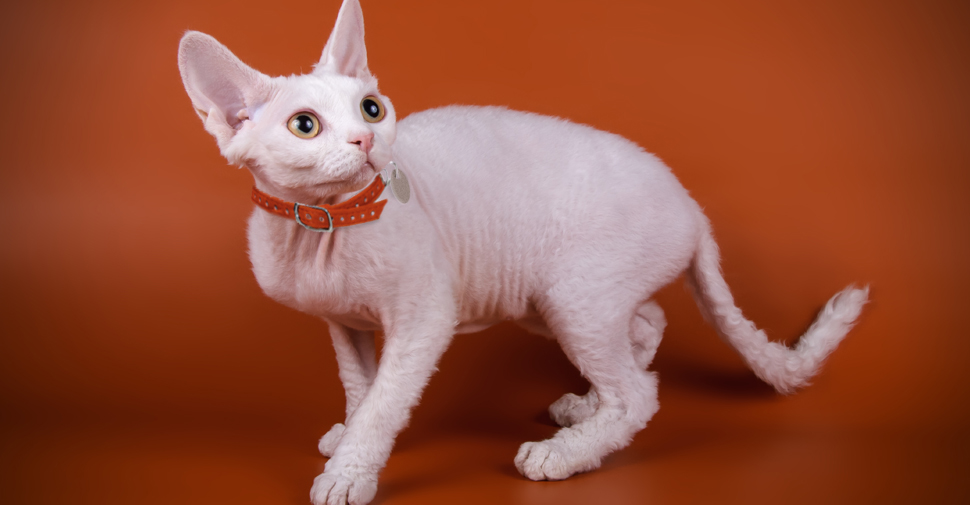 Devon Rex white cat breed with large ears and no whiskers standing against an orange background.