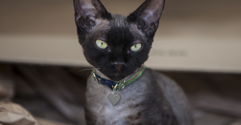 Devon Rex black kitten with large ears and green eyes standing on brown paper.