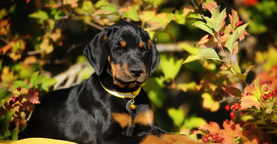 Doberman Pinscher puppy in fall background