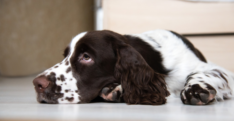 Sleepy, medium sized, brown and white English Springer Spaniel dog lying over front paws on gray floor.