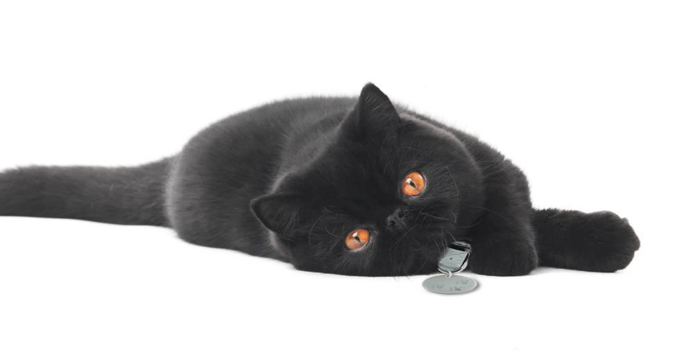 Shiny, black Exotic Shorthair cat with orange eyes and round face lying down and stretched out sideways on white background.