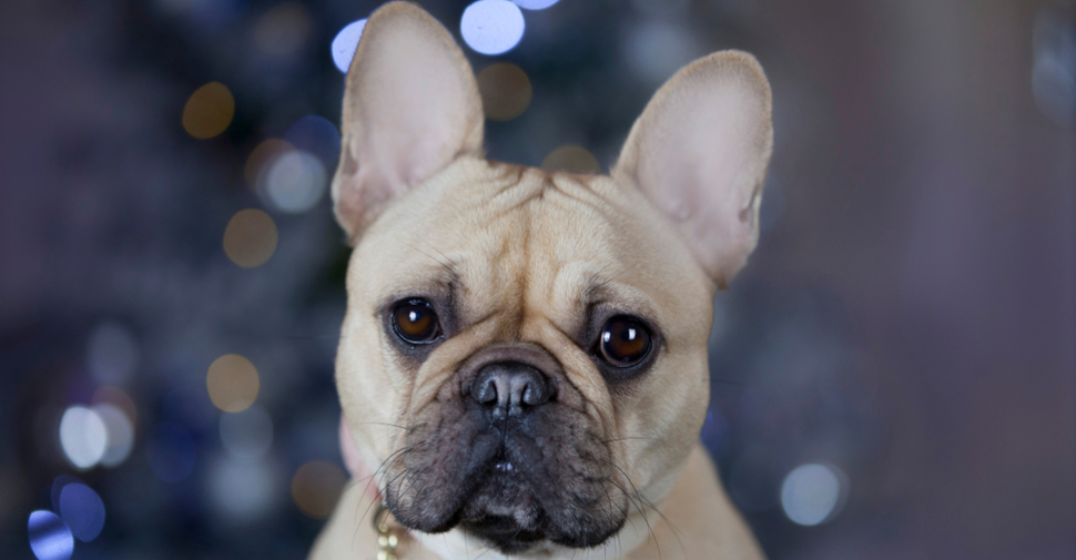 Cute French Bulldog with pink collar looking at the camera