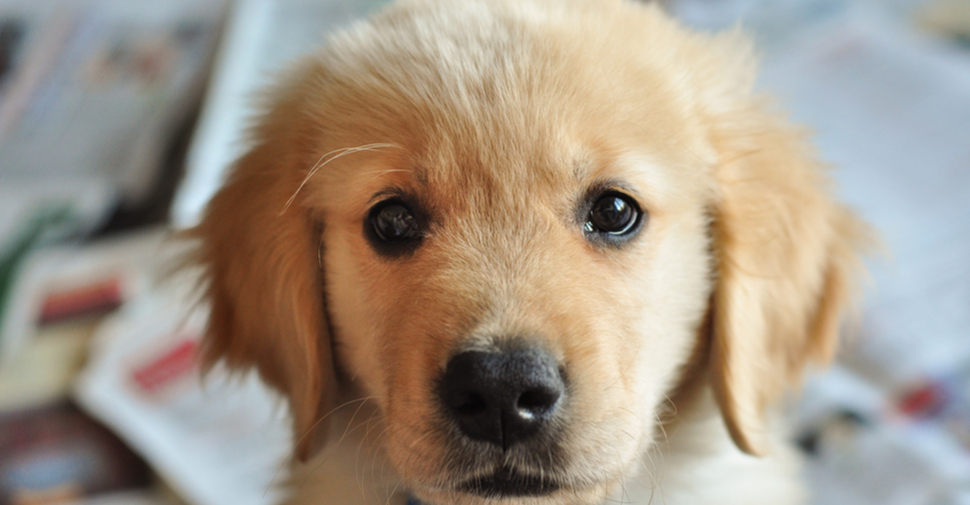 Cute young Golden Retriever with gentle eyes looking ahead.