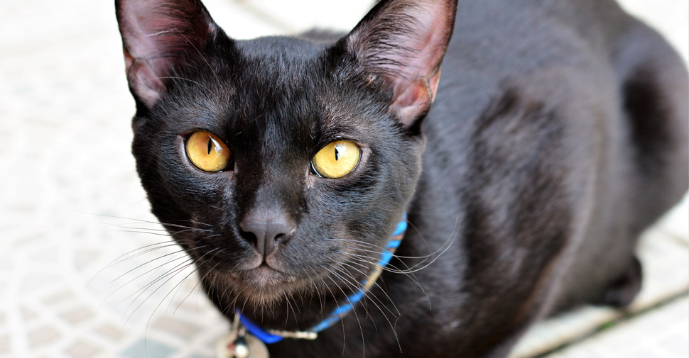 Black Japanese Bobtail cat with long ears and yellow eyes sitting on tiled floor.