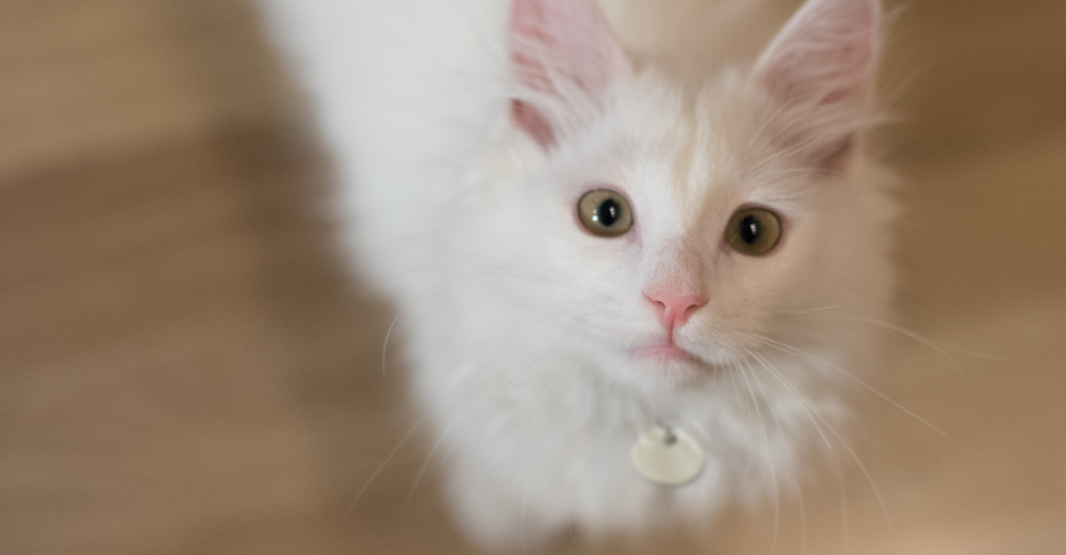 Fluffy Norwegian Forest white cat breed kitten with emerald eyes standing on wooden floor looking up.