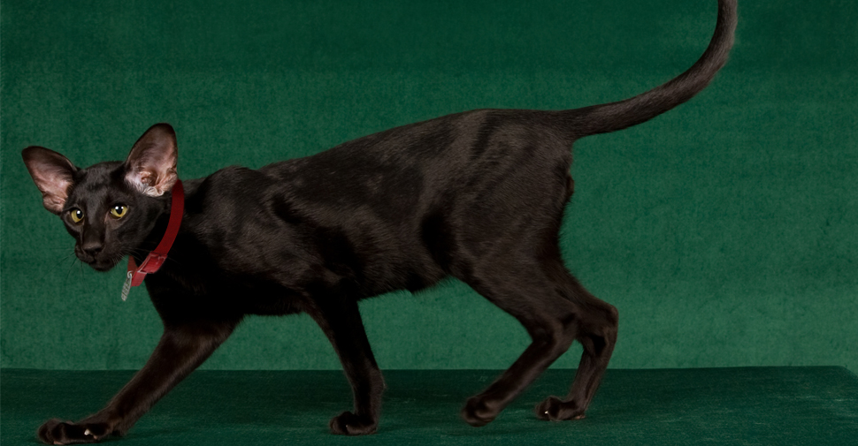 Black Oriental cat with short fur and large ears with pink inside and pointy face walking from right to left with tail swaying up in the air.