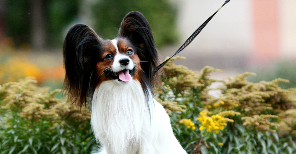 purebred Papillon dog outside, looking up, alert