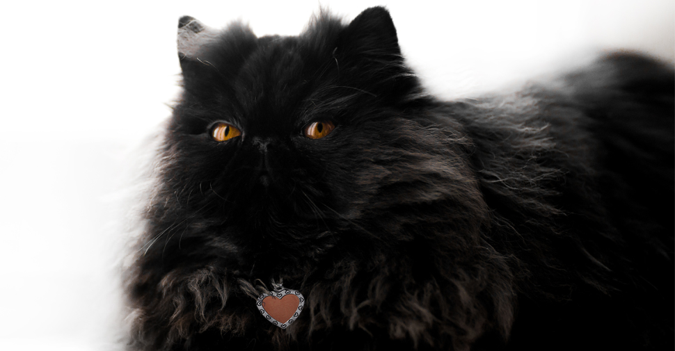 Fluffy, black Persian cat with copper eyes laying down on white background with front paws tucked underneath her body.
