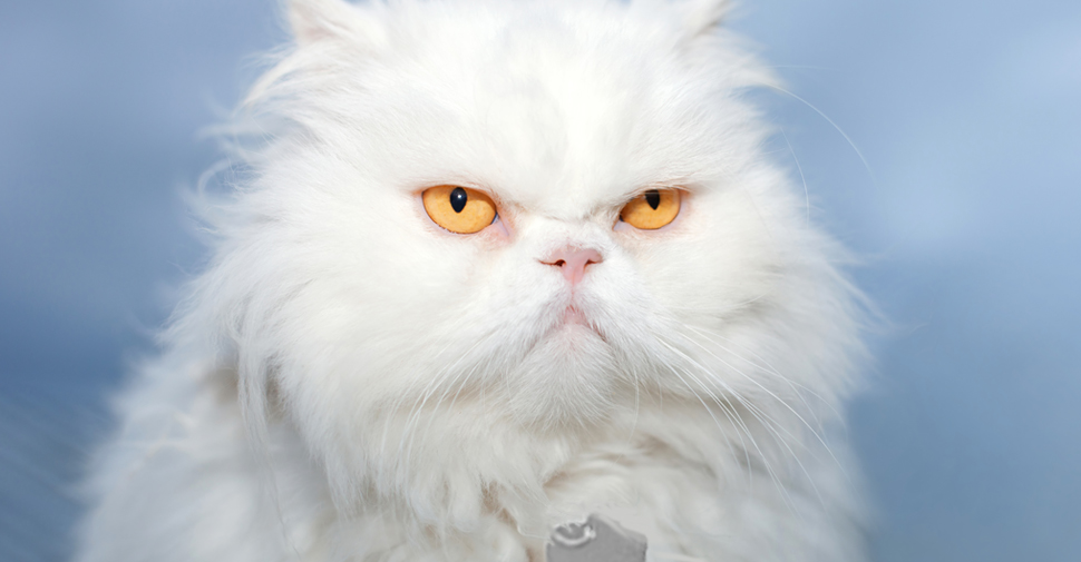 Close up of fluffy white Persian cat breed with golden eyes.