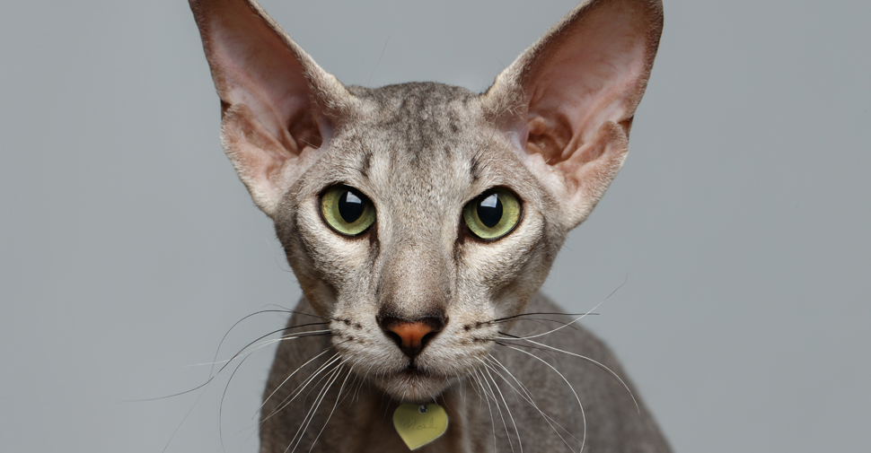Hairless gray Peterbald cat with green eyes.