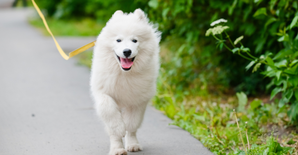 Large, fluffy, happy white Somoyed dog outdoors on a walk with tongue out.