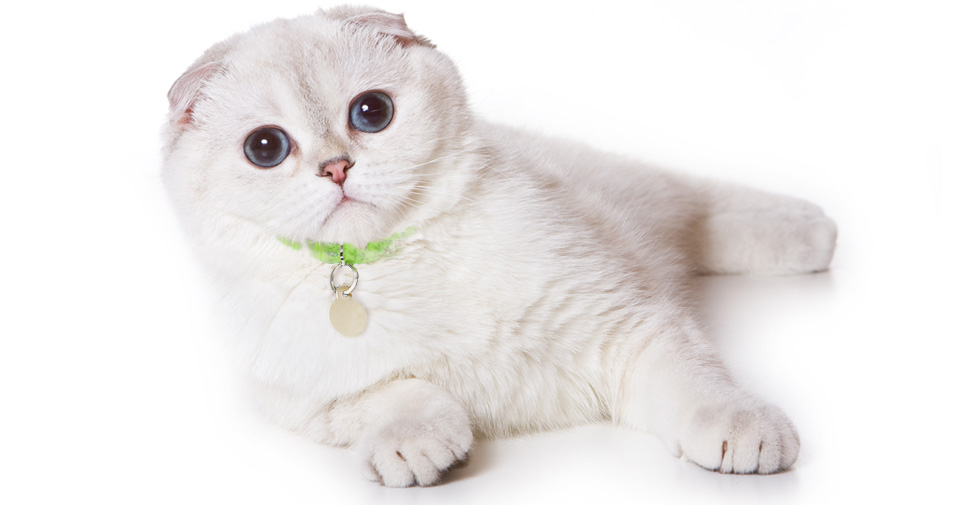 White Scottish Fold cat breed laying on white surface and white background with ears laying forward and flat on head, paws stretched out forward.