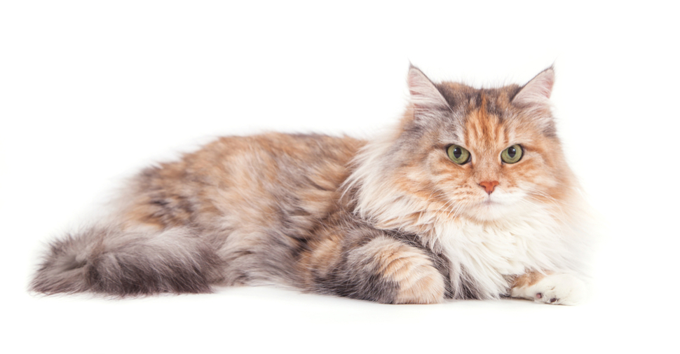 Siberian cat on white background