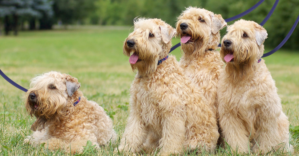 Pack of four blonde, medium size Wheaten Terrier dogs sitting and laying in an outdoor grassy garden.