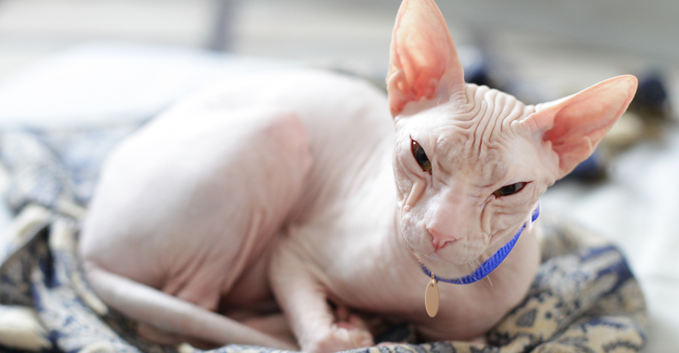 Hairless, pink-colored white Sphynx cat breed with lots of wrinkles and huge pink, ears curled up on blanket.
