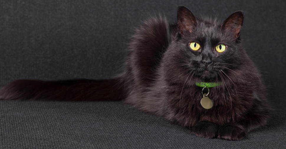 Fluffy, Turkish Angora black cat breed with big yellow eyes lying down with stretched out behind her out on black background.