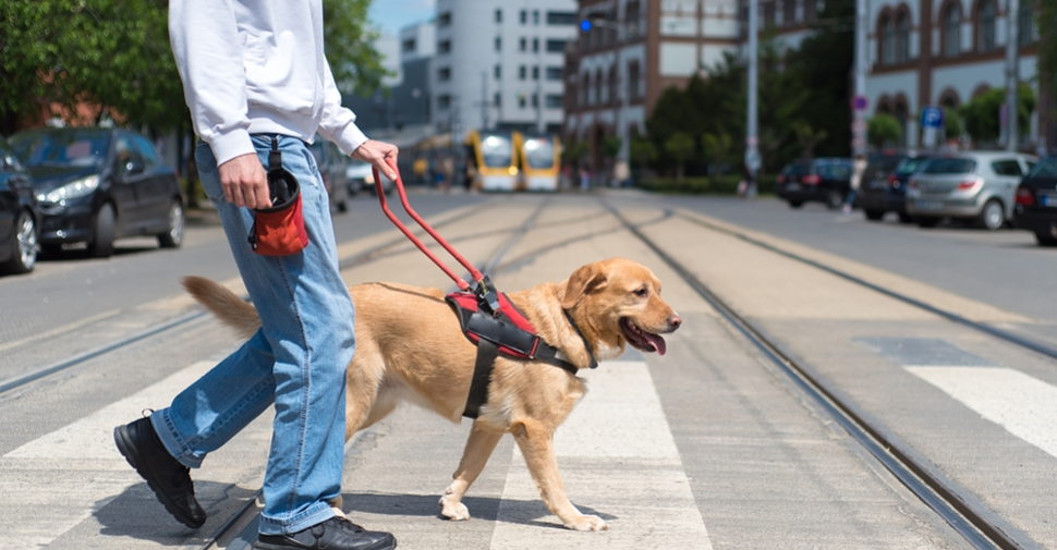Service dog helping a blind man in the city, crossing street